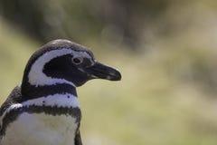 Slut upp av den Magellanic pingvinet Arkivfoto