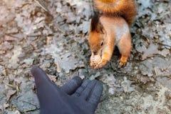 Slut upp av den matande ekorren för vuxen människahand i skog Royaltyfria Foton