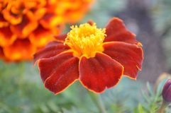upp av den orange och röda blomman Arkivfoton