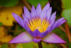Slut upp av den purpurfärgade lotusblomman Arkivbild