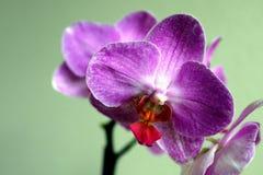 Slut upp av den purpurfärgade orkidén royaltyfria foton