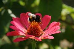 Slut upp av den purpurfärgade Zinniablomman Blomma för vit zinnia i trädgården arkivfoton