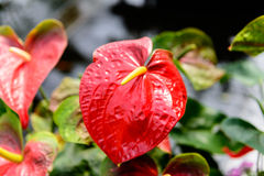 Slut upp av den röda Anthuriumblomman i botanisk trädgård Royaltyfria Foton