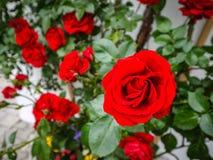 Slut upp av den röda rosen Arkivbild