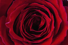 Slut upp av den röda rosen, detalj Royaltyfria Bilder