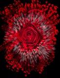 Slut upp av den röda rosen som exploderar Arkivfoto