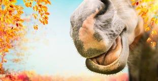Slut upp av den roliga hästframsidan med den öppna munnen på höstnaturbakgrund med lövverk royaltyfria foton