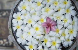 Slut upp av den rosa franjipaniplumeriablomman som svävar bland den vita blomman på vatten i trähandfat på den thai brunnsorten,  royaltyfri foto