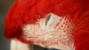 Slut upp av den scharlakansröda arapapegojan eller munkhättor Macao för röd amason, i färgrik stående för tropiskt djungelskogdju stock video