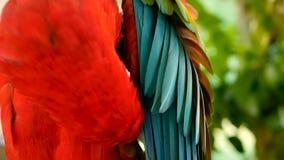 Slut upp av den scharlakansröda arapapegojan eller munkhättor Macao för röd amason, i färgrik stående för tropiskt djungelskogdju lager videofilmer