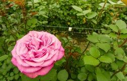 Slut upp av den selektiva fokusen av rosa färgrosblomman i trädgårds- växthus, produktion i Ecuador royaltyfri foto