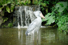 Shoebill (Balaenicepsrex) fågel Royaltyfri Fotografi