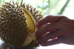 Slut upp av den skalade durianen Royaltyfri Foto