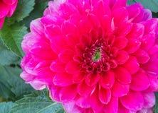 Slut upp av den stora rosa krysantemumblomman Fotografering för Bildbyråer