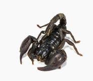 Svart scorpion Royaltyfria Bilder