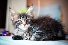 Slut upp av den svarta kattungen för strimmig kattfärgMaine tvättbjörn Arkivbilder