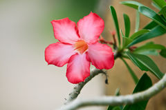 Slut upp av den tropiska blommarosa färgadeniumen royaltyfria bilder