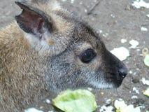 Slut upp av den unga kängurun Arkivfoto