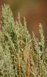 upp av den visa borsteväxten i öken Arkivbild