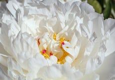 Slut upp av den vita pionblomman Royaltyfri Foto