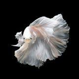 Slut upp av den vita platinaBetta fisken eller den Siamese stridighetfisken Arkivbild
