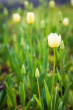 Slut upp av den vita tulpan i en parkeraträdgård Royaltyfri Fotografi