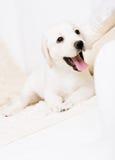 Slut upp av den vitlabrador valpen som ligger på sofaen fotografering för bildbyråer