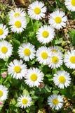 Slut upp av det blommande tusenskönablommafältet Fotografering för Bildbyråer