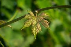 Slut upp av det enkla unga bladet av druvor, i en kolonidruva royaltyfri foto