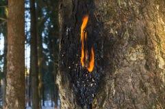 Slut upp av det flammande fragmentet av det kådiga prydliga skället Mordbrand av vid liv träd är ett påfallande fall av vandalism Royaltyfria Bilder
