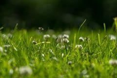 Slut upp av det lösa biet i mitt--luft bredvid en växt av släktet Trifoliumblomma Arkivfoton