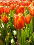 Slut upp av det röda tulpanfältet Royaltyfria Bilder