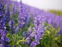 Slut upp av det Violet Angelonia blommafältet Royaltyfria Bilder