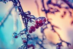 Slut upp av djupfrysta krabbaäpplen på ett Retro träd - royaltyfria bilder
