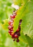 Slut upp av druvor Royaltyfria Foton