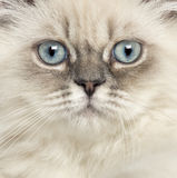 Slut upp av en brittisk Longhair kattunge Arkivbilder