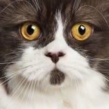 upp av en brittisk longhair seende kamera Royaltyfri Bild