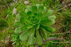 Aeonium Arkivfoto
