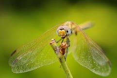 Slut upp av en drakefluga Royaltyfri Fotografi