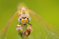 Slut upp av en drakefluga Arkivfoton