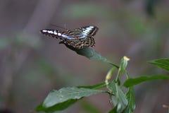 Slut upp av en exotisk fjäril Arkivfoton