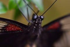Slut upp av en exotisk fjäril Fotografering för Bildbyråer