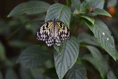 Slut upp av en exotisk fjäril Arkivbild