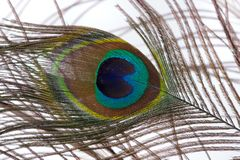 Färgrik påfågelfjäder Arkivbild