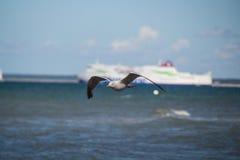 Slut upp av en fiskmås i flykten på stranden för baltiskt hav med blå himmel Arkivfoton