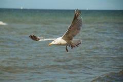Slut upp av en fiskmås i flykten på stranden för baltiskt hav med blå himmel Arkivfoto