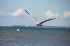 Slut upp av en fiskmås i flykten på stranden för baltiskt hav med blå himmel Royaltyfria Bilder