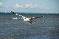 Slut upp av en fiskmås i flykten på stranden för baltiskt hav med blå himmel Royaltyfri Foto