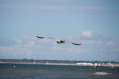 Slut upp av en fiskmås i flykten på stranden för baltiskt hav med blå himmel Arkivbild