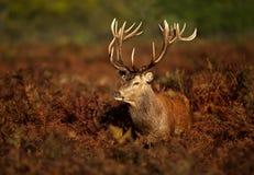 Slut upp av en fullvuxen hankronhjort för röda hjortar arkivbilder